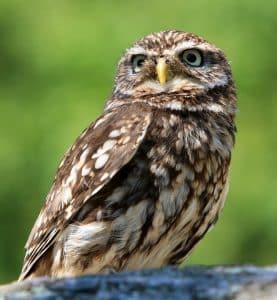 owl-77894_960_720
